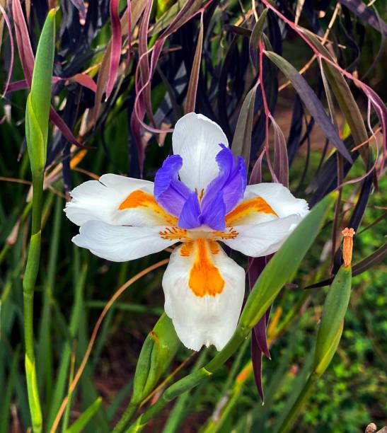 Lilly White Purple Orange stock photo