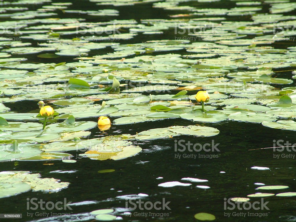 Lillypads royalty-free stock photo