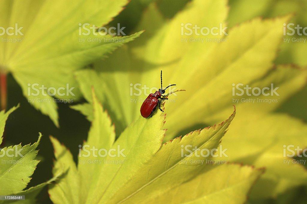Escarabajo del lirio foto de stock libre de derechos