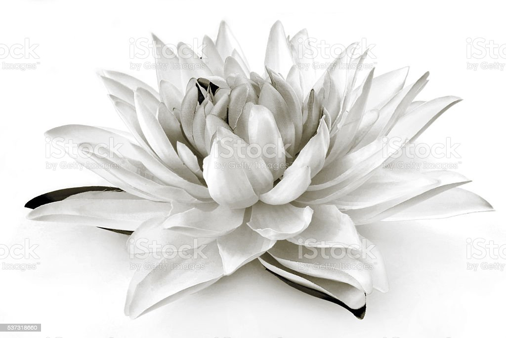 Lily black and white  isolated on white stock photo