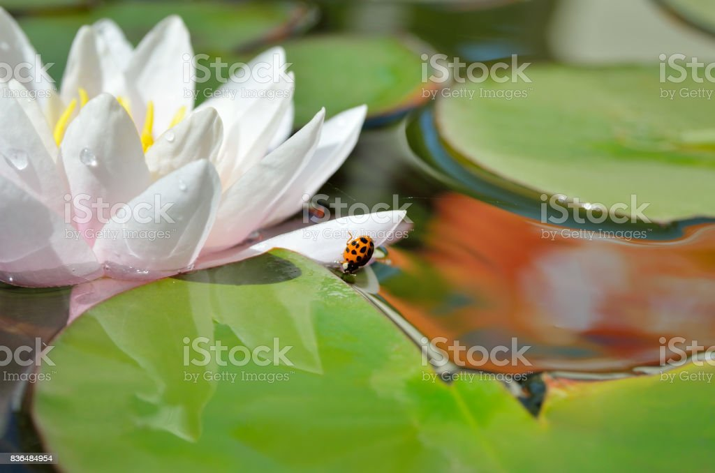 Lily blooms on a lake on background of green leaves stock photo