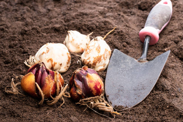 Lily bulbs on soil. Ready to plant. Lily  bulbs on soil. Ready to plant. plant bulb stock pictures, royalty-free photos & images