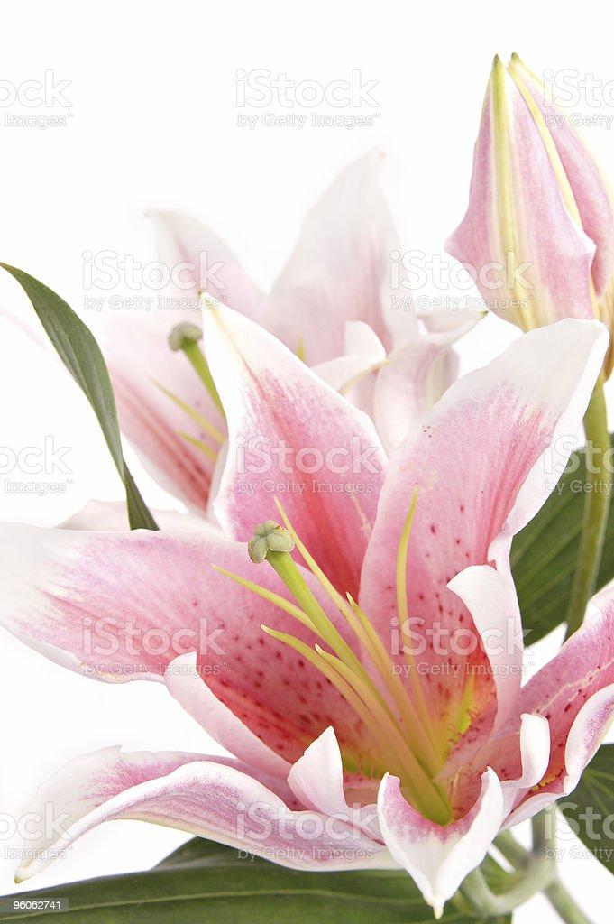 Lily Closeup royalty-free stock photo