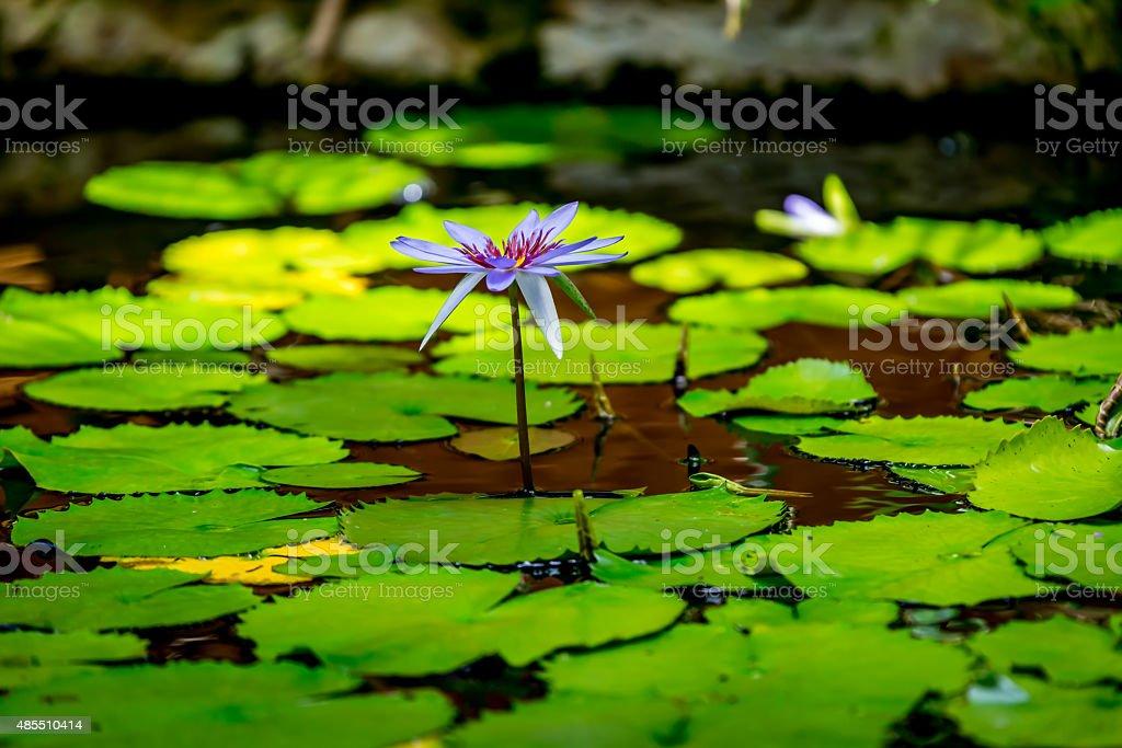 Lilie Blume 2 – Foto