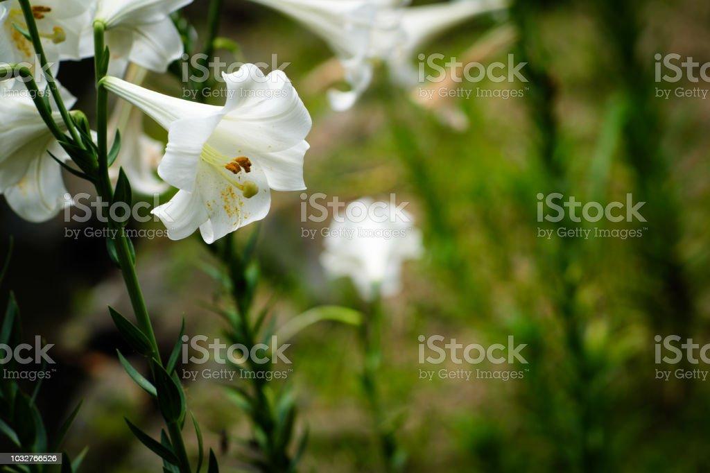 Lily Flower at Taipei Botanical Garden in Taipei, Taiwan. stock photo