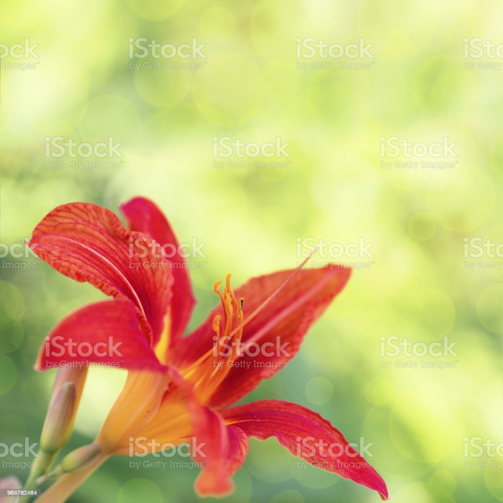Lily flower close up in Nature with blurred background royalty-free stock photo