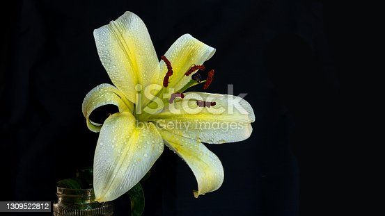 Closeup shot of an Asiatic Lily in white and yellow color with brown stamen and water drops under dark back ground