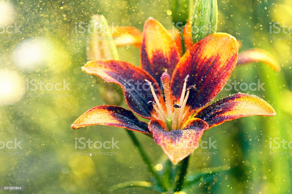 Lily flower in the rain stock photo