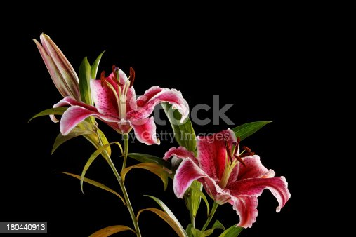 Close up of oriental tiger lily isolated on a black background