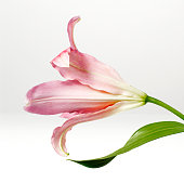 Pink Lily flower on white background