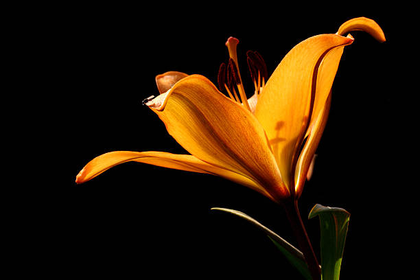Lily flower picture id179356561?b=1&k=6&m=179356561&s=612x612&w=0&h=v2cb6mdntcbg8ja0lilq1n9d1v  xrgdznvk2obmkz4=