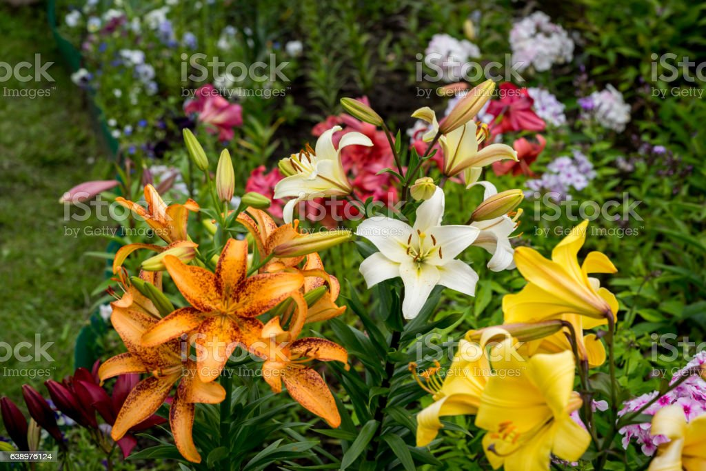 lily flowers in the garden – Foto