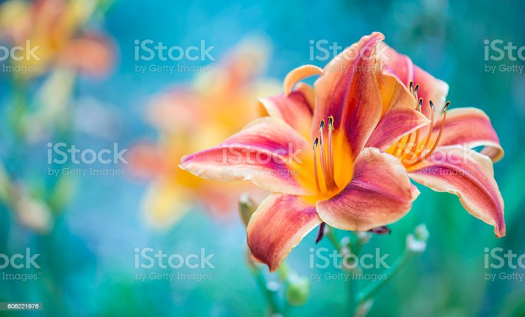 Lily flowers on blue background stock photo