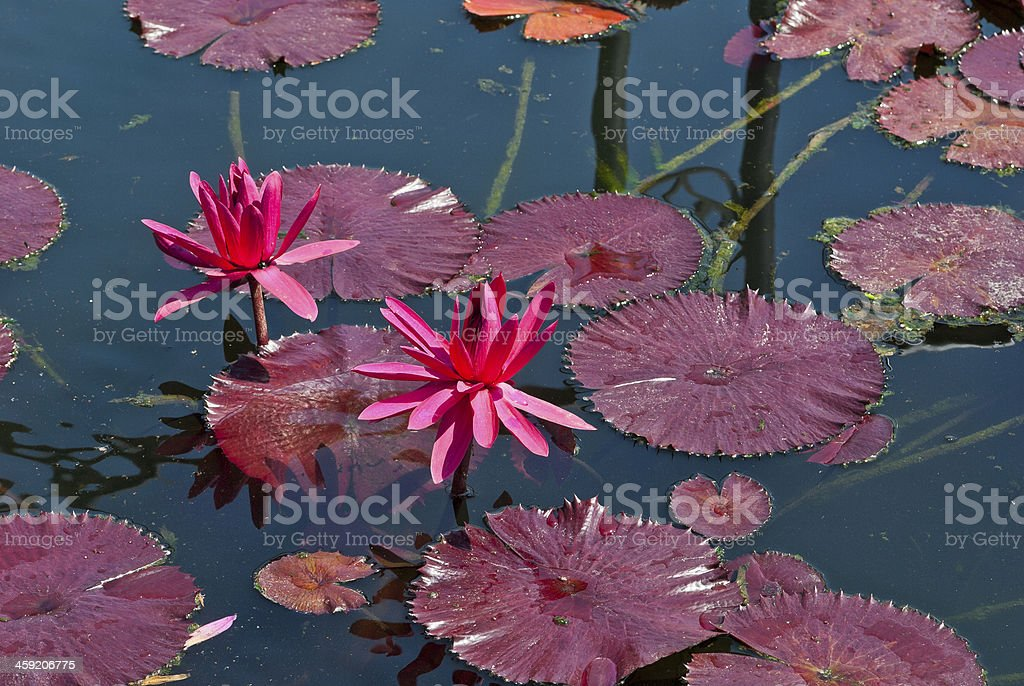 Lily flowers stock photo