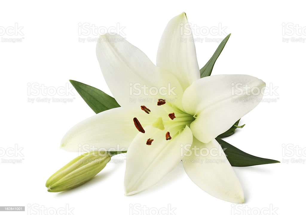 Lily isolated stock photo