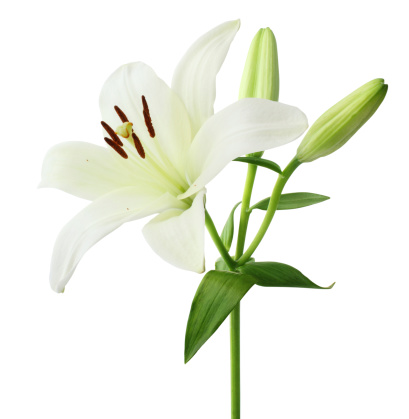White Lily isolated on white background.