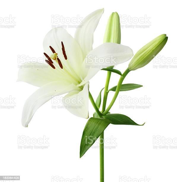 Lily isolated picture id183384405?b=1&k=6&m=183384405&s=612x612&h=cfzwphckaos8zijvpiwuxcais0la81ec3wuyo8le7rk=