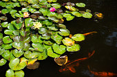 Pond with lily pads, flowers, and fish.