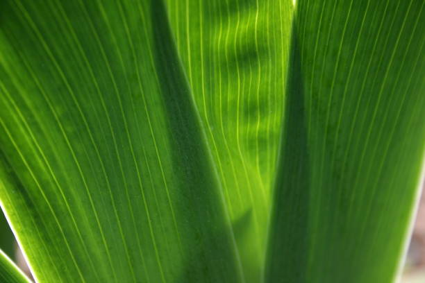 Lily leaves close up in front of sunlight Lily leaves close up in front of sunlight textured false hellebore stock pictures, royalty-free photos & images