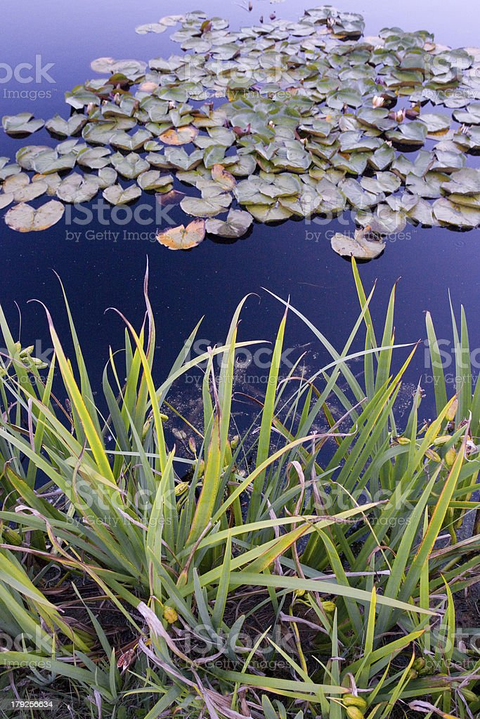 Lily leaves on a pond royalty-free stock photo