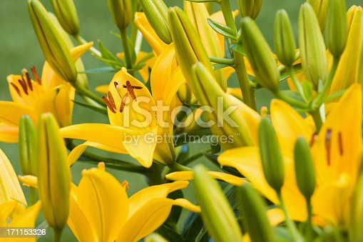 Blooming Lilies and buds in a flower garden.  Lilium Asiatic Tiny Bee.