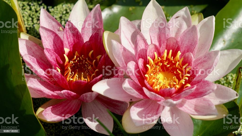 Lily, Nymphaea, Lotus, Nucifera, stock photo