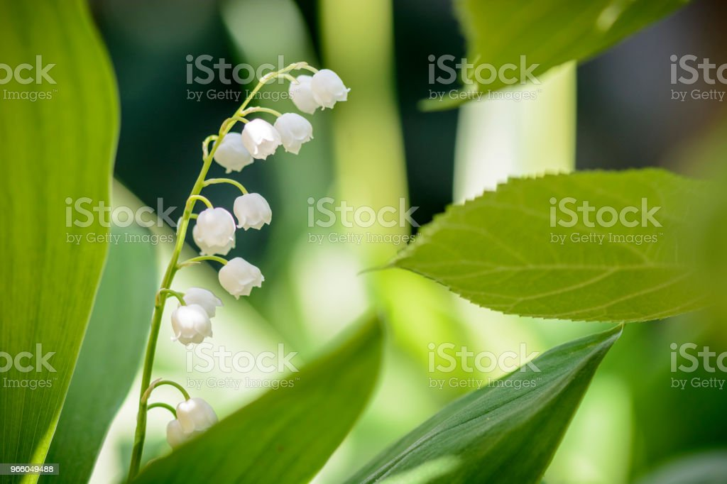 lily of the valley background, place for text. - Royalty-free Beauty Stock Photo