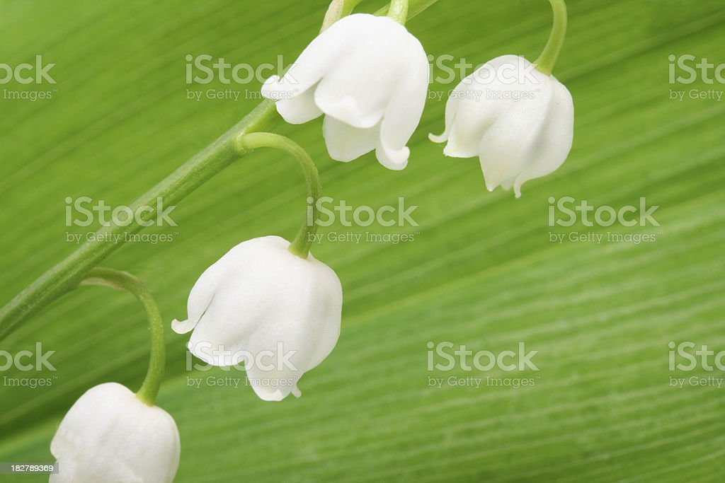 Lily of the Valley Blossom with green Leaf royalty-free stock photo