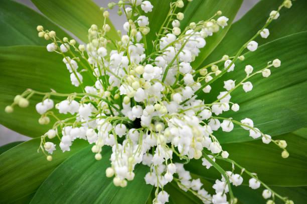 lily du bouquet de vallée - muguet photos et images de collection
