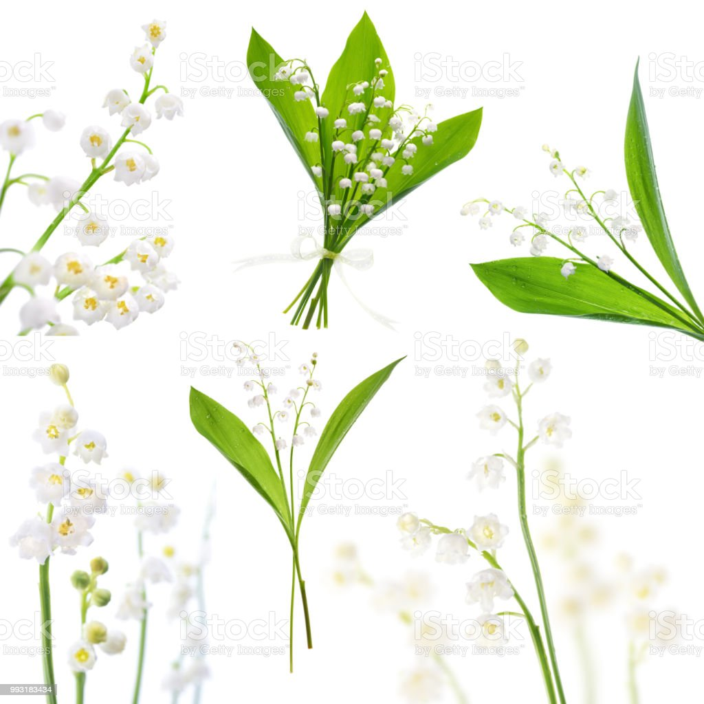 Lily Of The Valley Bunch Of Flowers On White Background Picture Set