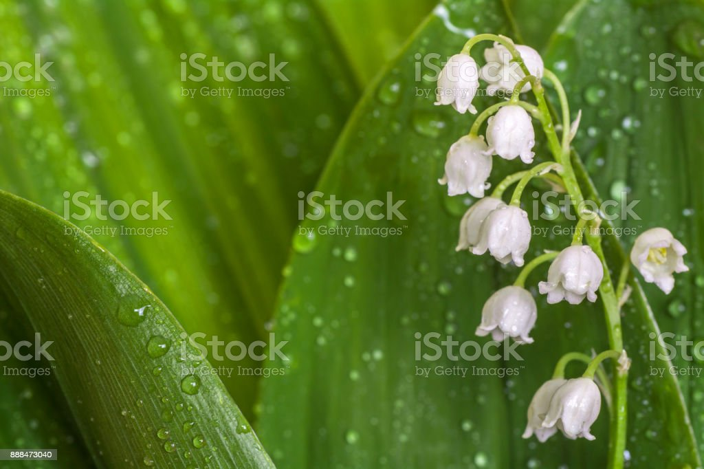 Lily of the Valley close up. May-lily leaves with dew drops. Sun rays on spring flowers stock photo