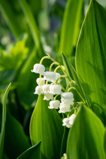 Lily of the Valley Close Up stock photo