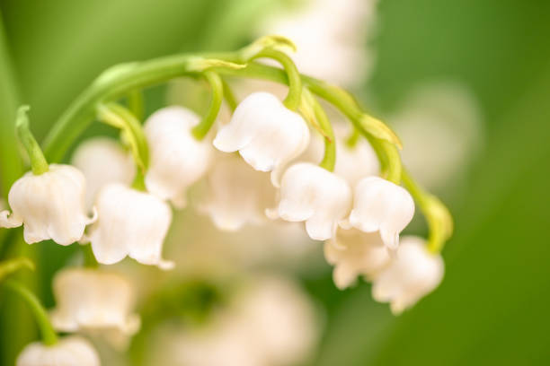 fleur de lys de la vallée près, fond vert de nature. 1er mai, symbole de la fête du travail - 1er mai photos et images de collection
