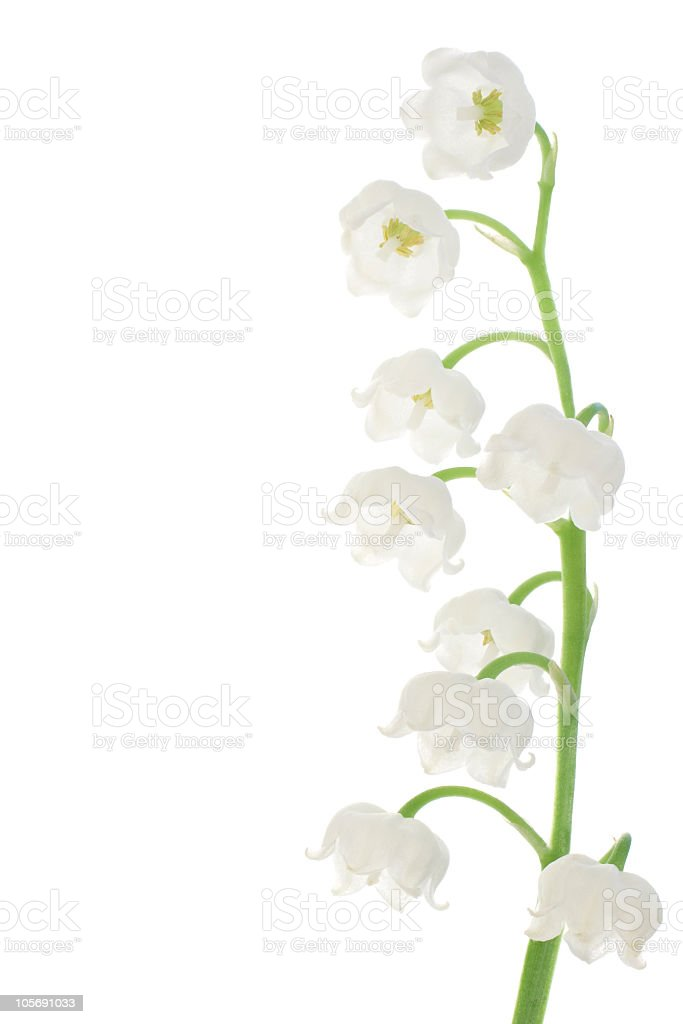 Lily of the valley flower on white background royalty-free stock photo