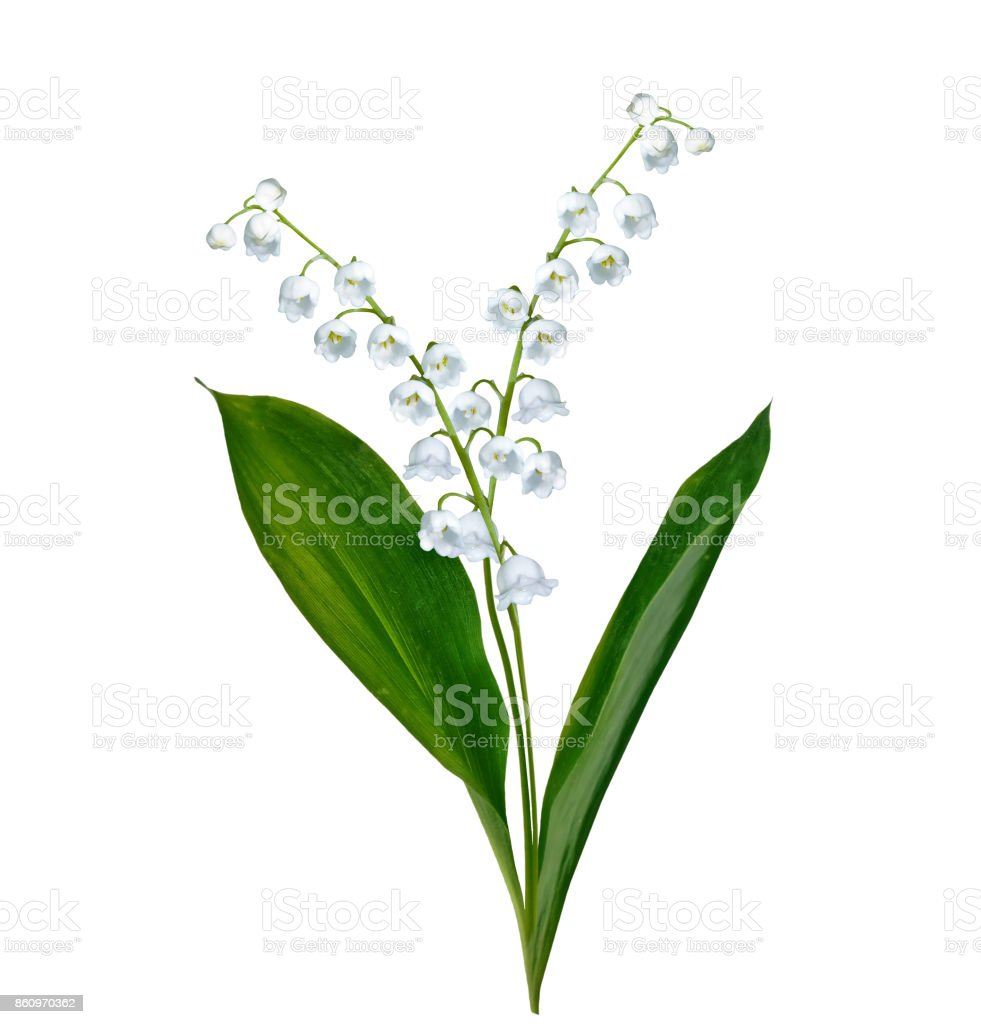 Lily of the valley flower stock photo more pictures of beauty istock bouquet flower flower arrangement plant russia lily of the valley izmirmasajfo