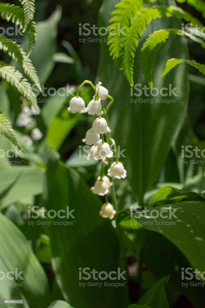 Lily of the Valley Flower stock photo