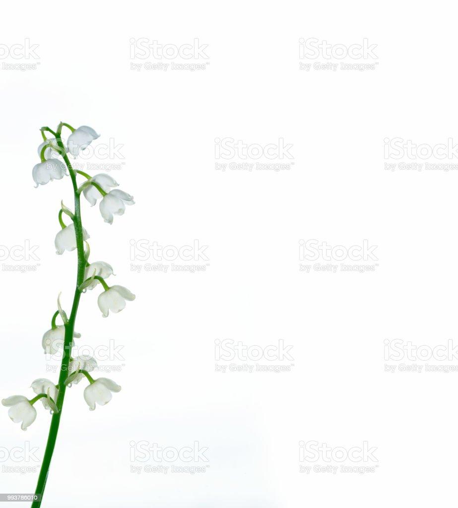 Lily Of The Valley Bloem Stockfoto En Meer Beelden Van Bel Istock