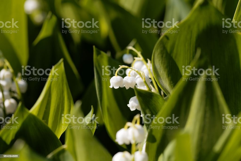 Lily of the valley (Convallaria majalis) flowers - Royalty-free Beauty Stock Photo
