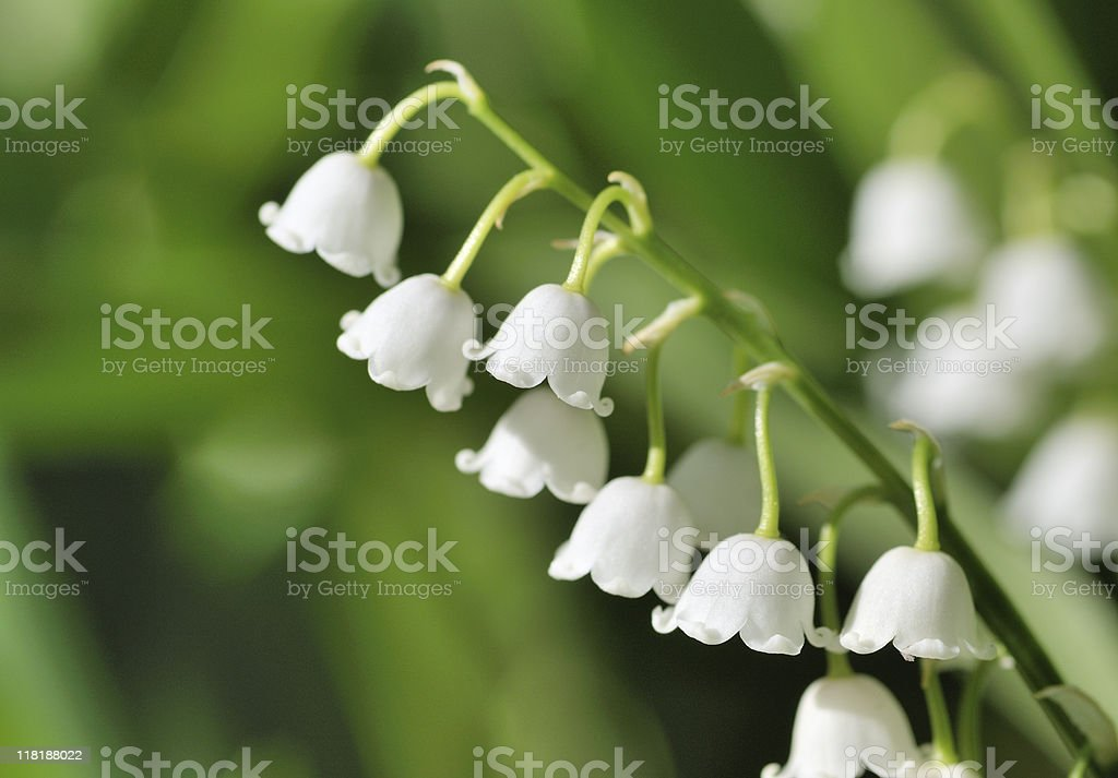 Lily of the valley in morning light royalty-free stock photo