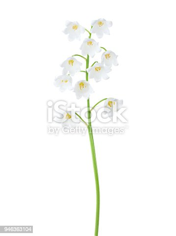 Lily of the Valley isolated on white background.
