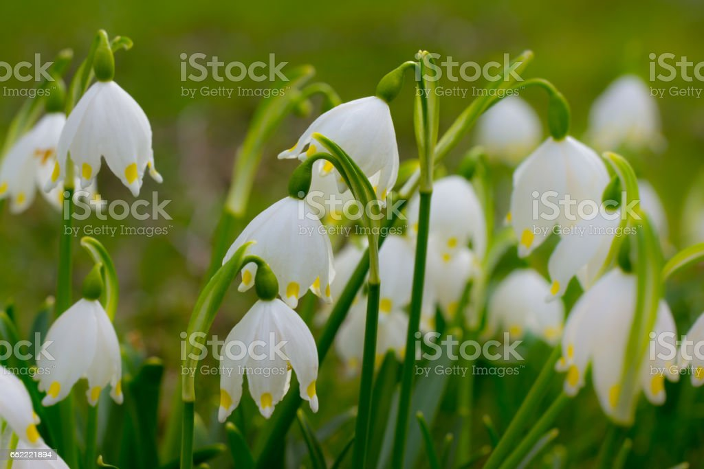 Lily of the valley on a meadow in spring stock photo