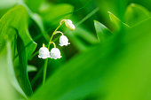 Lily of the Valley sorrounde by green leafs