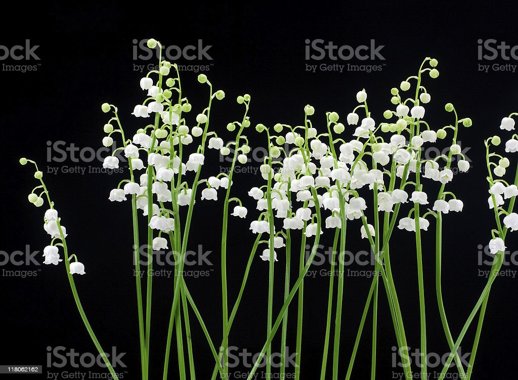 Lily of the valley (Convallaria majalis) royalty-free stock photo