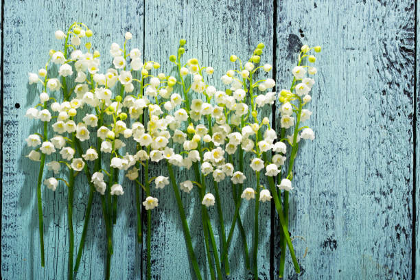 Lily of the valley – zdjęcie