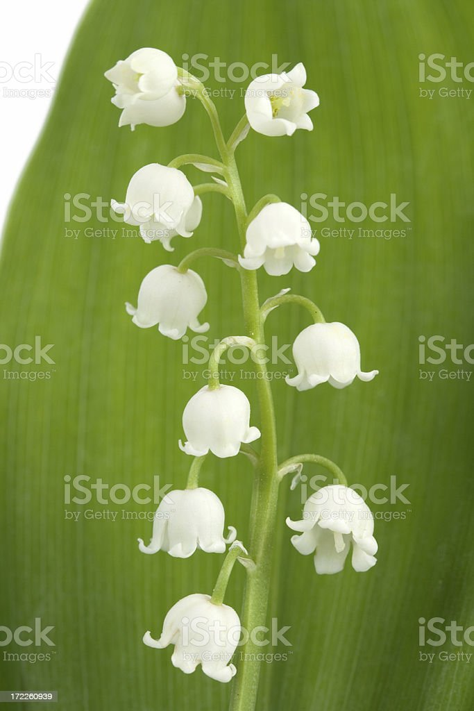 lily of the valley royalty-free stock photo