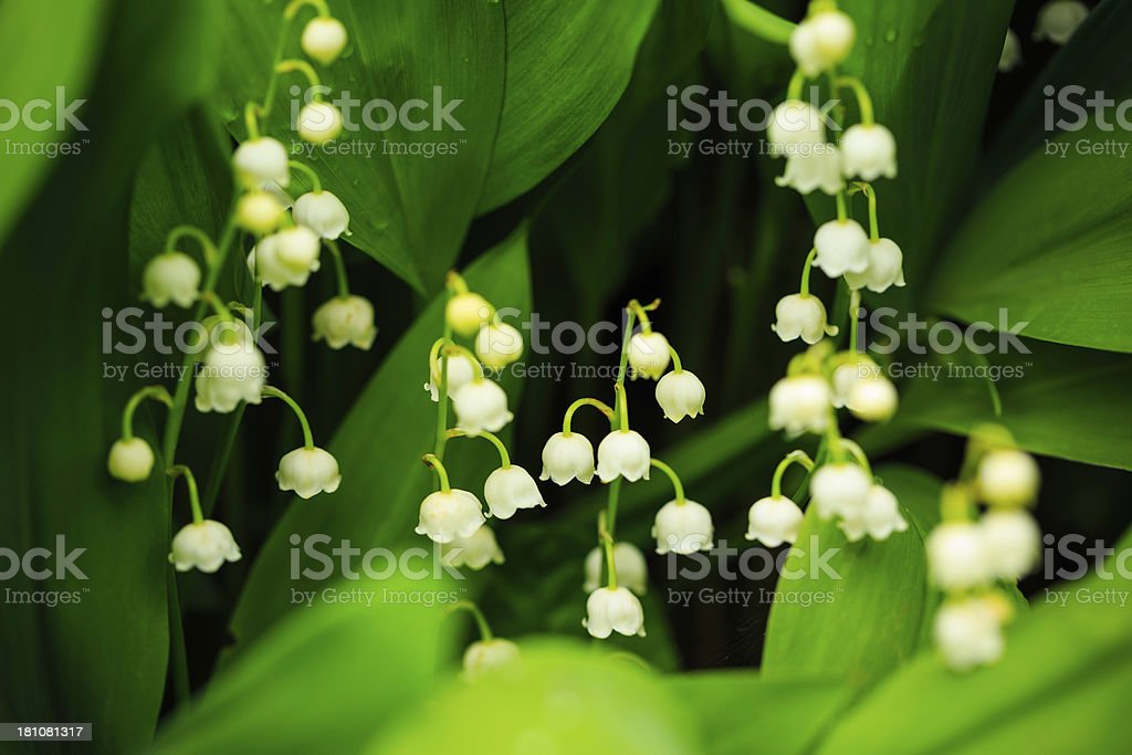 spring convallaria flowers close-up. shallow depth of field.see my