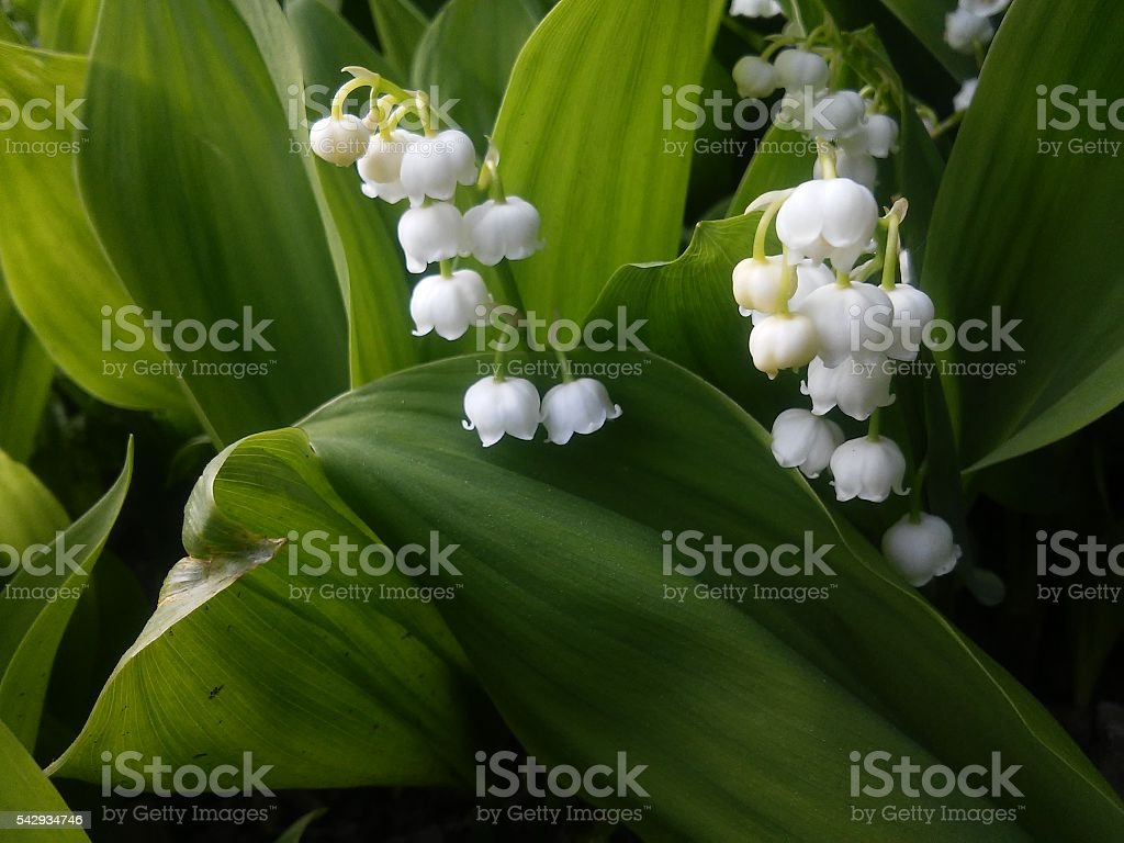 lily of the valley in garden in Lithuania