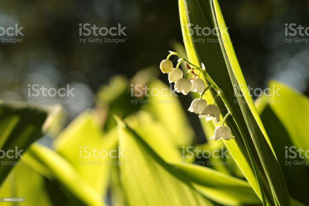 Lily of the valley royaltyfri bildbanksbilder