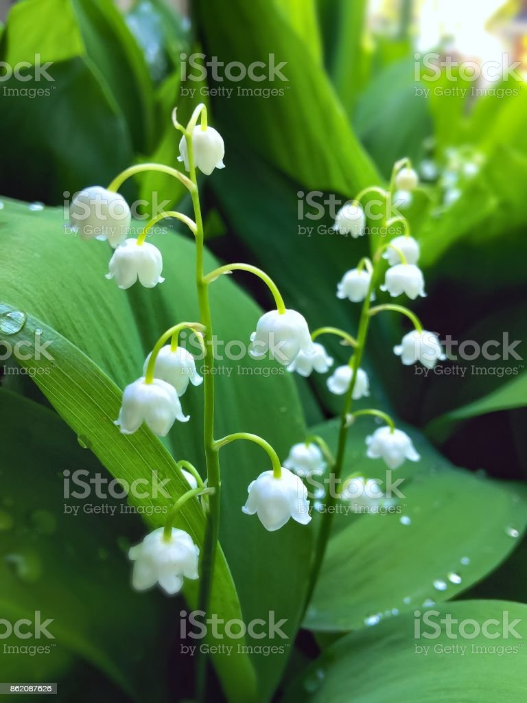 lily of the valley in the garden in the morning in the dew