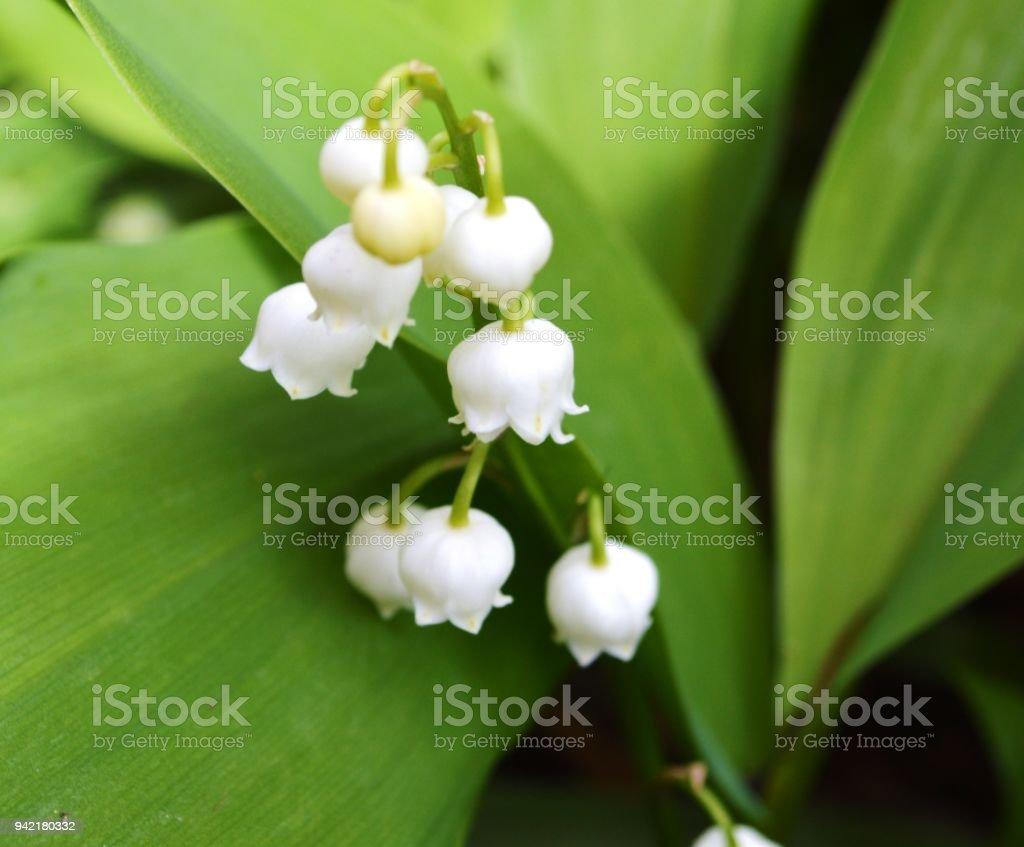 Lily Of The Valley (Convallariaarten Majalis). – Foto